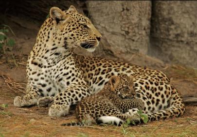 leopard-fw4ef